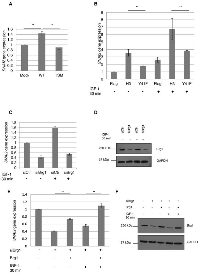 SNAI2 gene expression by nIGF-1R and pH3Y41.