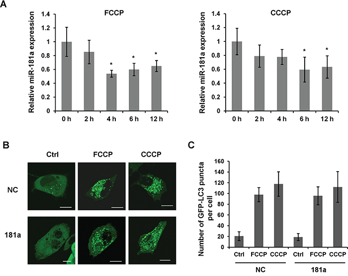 miR-181a is downregulated by mitochondrial uncouplers.