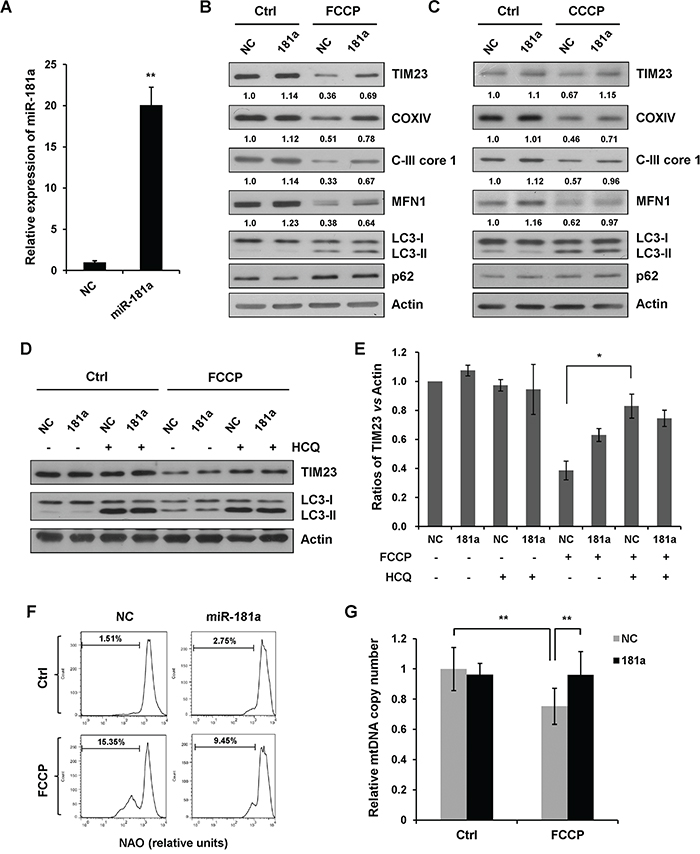 miR-181a inhibits mitochondrial uncoupler-induced mitophagy.