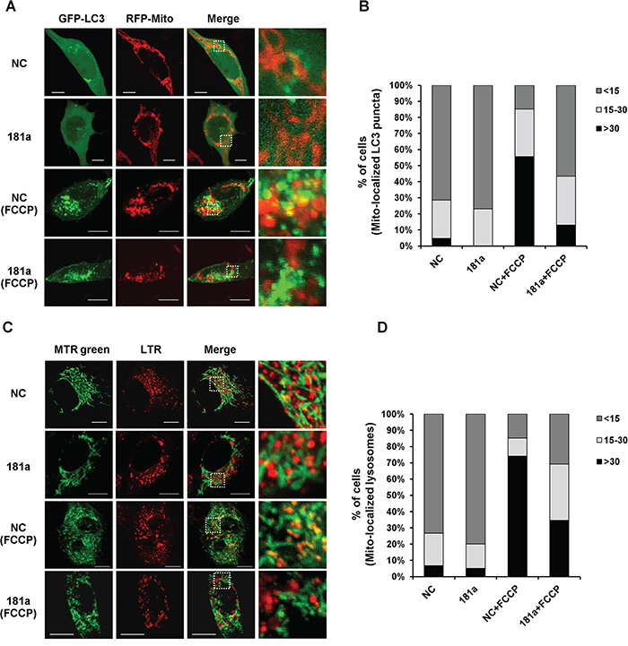 miR-181a partially blocks colocalization of mitochondria with autophagosomes/lysosomes.