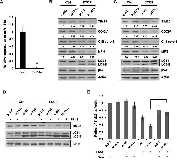 Inhibition of endogenous miR-181a promotes mitophagy.