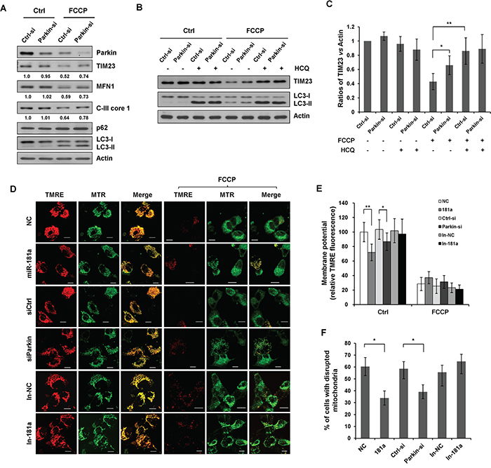 Silencing endogenous Parkin inhibits mitophagy.