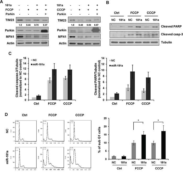 miR-181a sensitizes neuroblastoma cells to apoptosis induced by mitochondrial uncouplers.