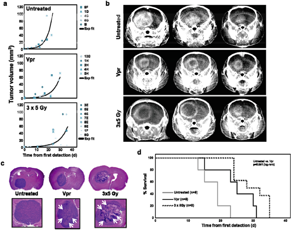 Vpr is effective in a murine orthotopic glioma xenograft model.