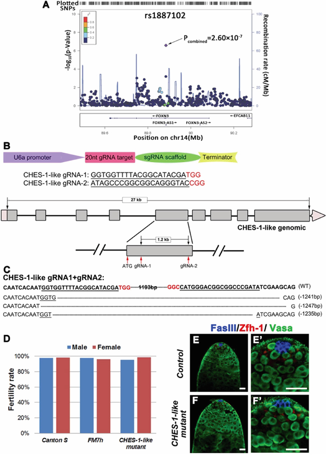 Loss of CHES-1-like does not cause spermatogenesis defects in Drosophila.