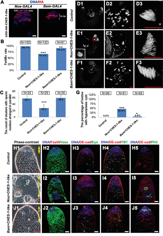 Ectopic expression of CHES-1-like in germ cells causes male fertility defect and tumor like structure formation.