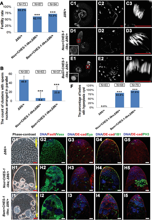 Removing one copy of bam enhanced CHES-1-like overexpression phenotypes.