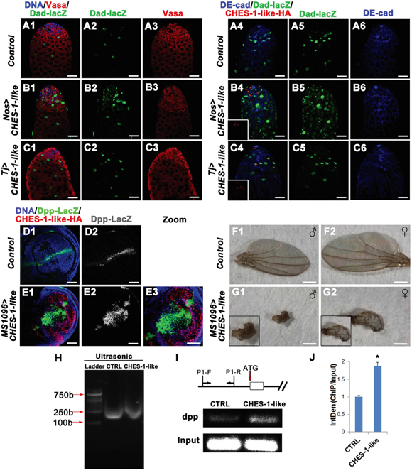 CHES-1-like prevents spermatogonial differentiation through promoting Dpp expression to ectopically activate BMP signaling in germ cells.