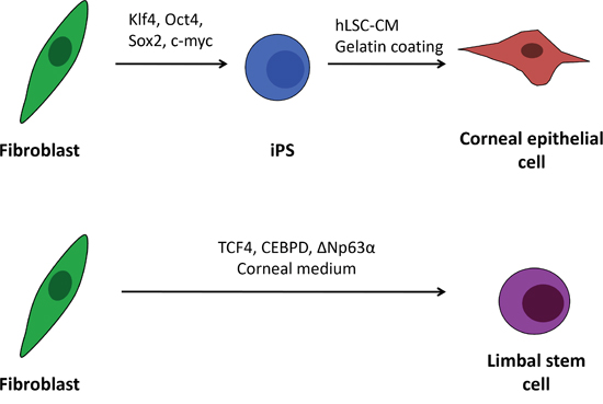 Schematic outline of the human iPS cell differentiation and direct transdifferentiation into corneal epithelial-like cells.