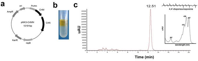 The biosynthesis, identification, and toxicity analysis of 4,4'-diaponeurosporene (Dia).