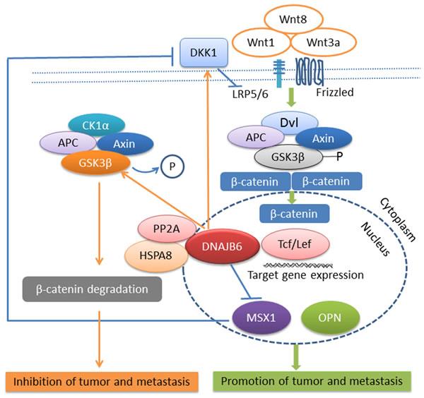DNAJB6 negatively regulates tumor growth and metastasis through Wnt signaling pathway.
