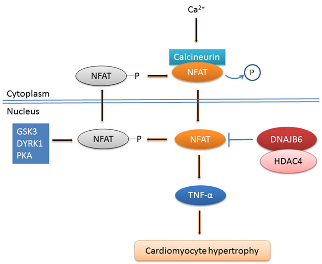 DNAJB6 represses cardiomyocyte hypertrophy through calcineurin-NFAT signaling pathway.
