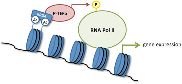Transcriptional activation by BRD4.