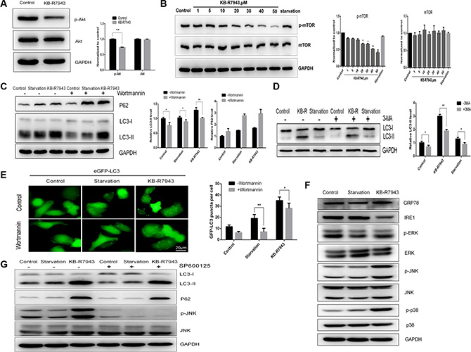 KB-R7943 induced autophagosome accumulation by downregulating the PI3K/AKT/m-TOR pathway and upregulating the JNK pathway.