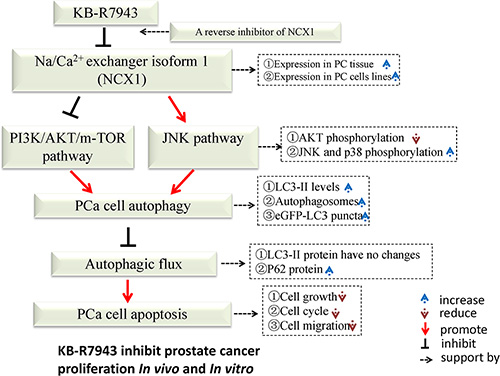Schematic description of the relationship between autophagy and apoptosis in PC3 cells following KB-R7943 treatment.