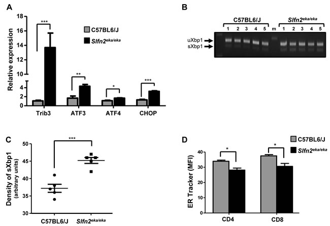 Activation of UPR and ER stress response in Slfn2