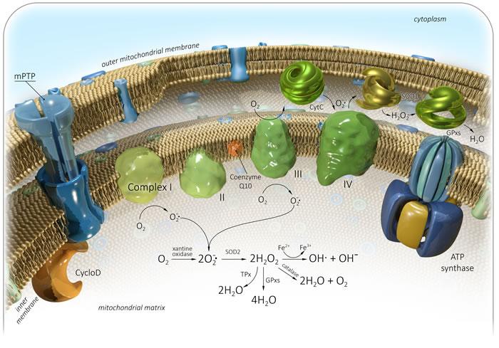 Generation of mitochondrial reactive oxygen species (mtROS).
