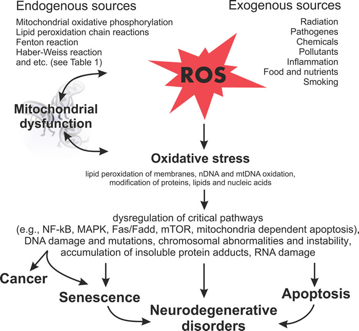 Schematic diagram illustrating the harmful effects of ROS on the cellular processes and subsequent outcomes.
