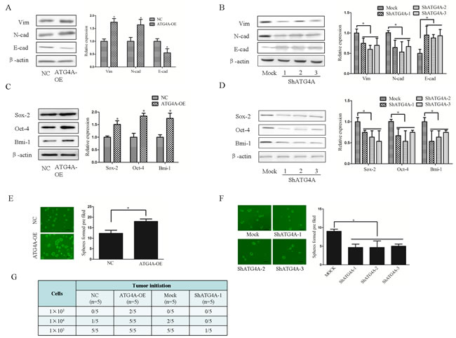 ATG4A induces the EMT phenotype and stem cell properties in gastric cancer cells.
