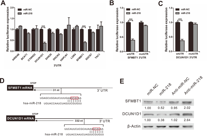MiR-218 directly targets the SFMBT1 and DCUN1D1 3'UTR.
