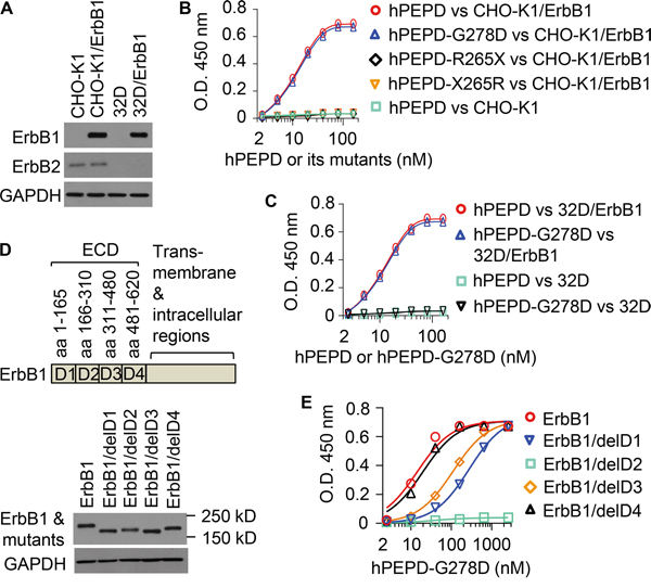 Binding of hPEPD and its mutants to human ErbB1.