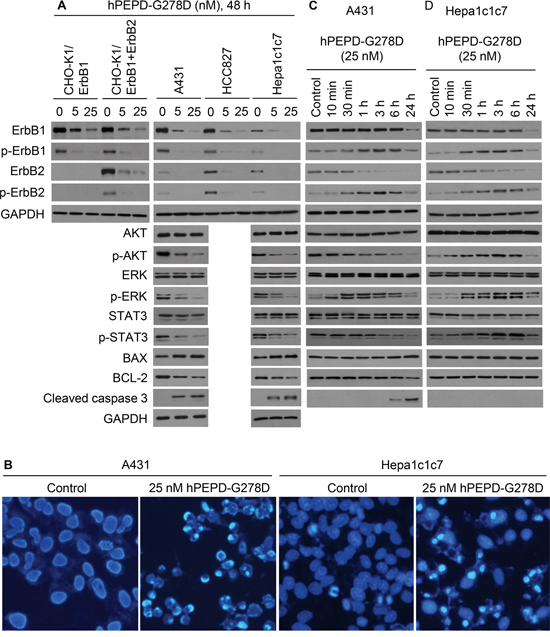 Effect of hPEPD-G278D on ErbB1, ErbB2, their downstream signaling and regulatory molecules, and cell morphology.