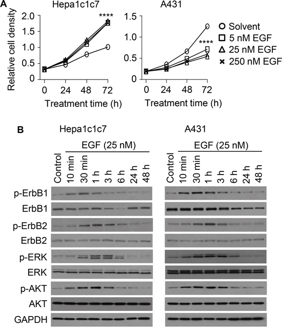 Effect of EGF on cell proliferation, ErbB1, ErbB2 and their downstream signaling molecules.