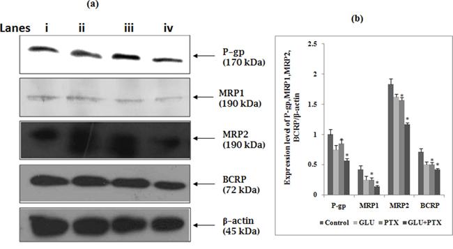 Effect of GLU-PTX on the expression pattern of P-gp-170kDa, MRP1-190kDa, MRP2-190kDa, BCRP-72kDa and β-actin-45kDa expression in KB cells.