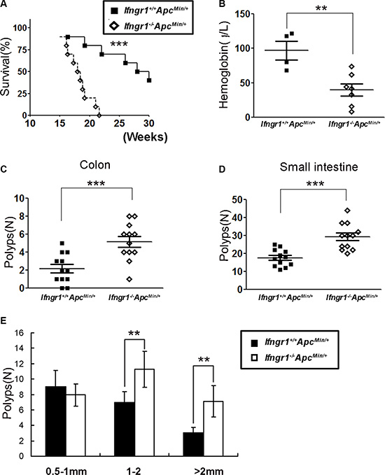 IFN-γ receptor deficiency enhanced intestinal tumorigenesis in ApcMin/+ mice.