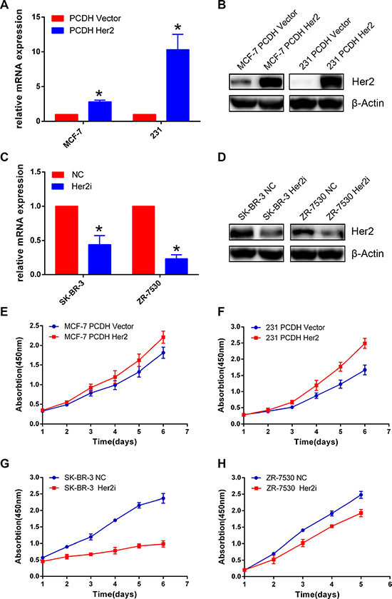 HER2 promotes breast cancer cell proliferation.