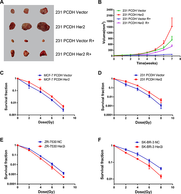 HER2 overexpression reduces radiosensitivity of breast cancer in vitro and in vivo.