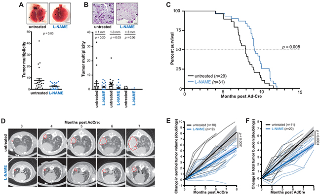 L-NAME treatment reduces lung tumor burden, inhibits lung tumor growth, and provides a survival benefit in mice developing Kras mutationpositive NSCLC.