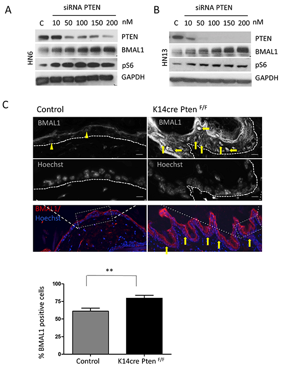 Targeted disruption of PTEN in vitro and in vivo induces activation of pS6 and BMAL1.