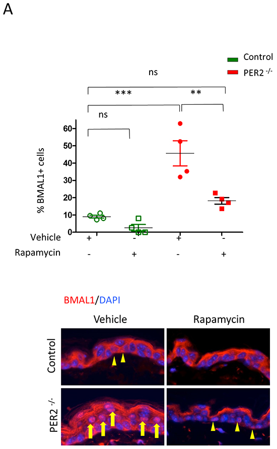 Rapamycin reduces the accumulation of BMAL1 in Per2 knockout mice.
