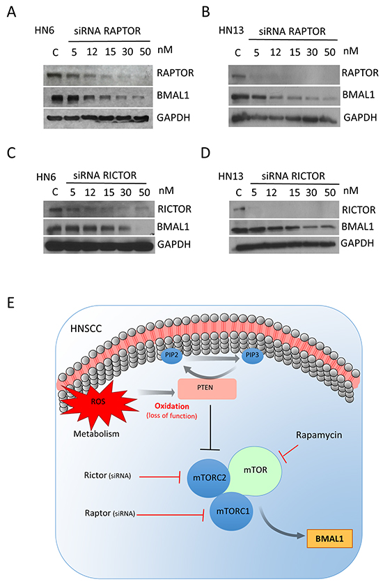 Small interference RNA targeting Raptor and Rictor disrupts BMAL1 accumulation in HNSCC.