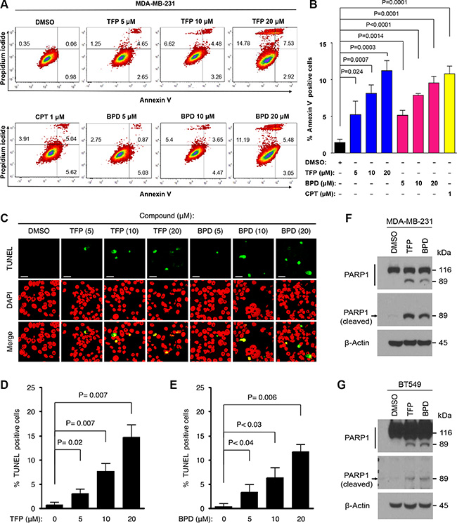 BPD and TFP promote cellular apoptosis in TNBC cells.
