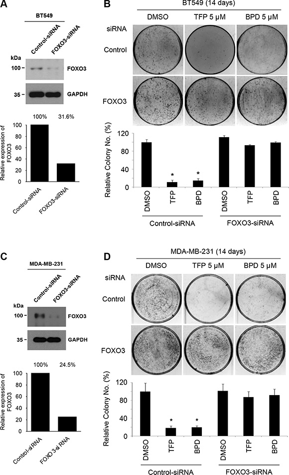 TFP and BPD suppress the colony-forming ability of TNBC cells in a FOXO3-dependent manner.