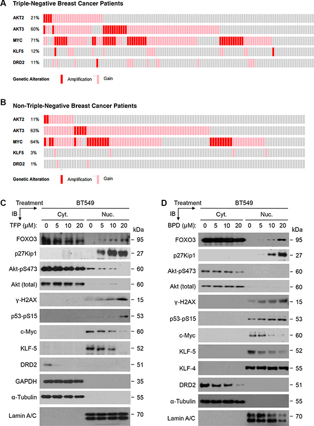 The aberrant expression of oncogenic survival proteins in TNBC tumors and the effect of TFP or BPD on these proteins in TNBC cells.
