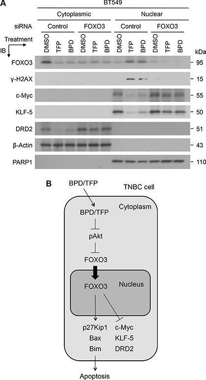 TFP and BPD significantly reduce the expression of oncogenic c-Myc, KLF5, and DRD2 in TNBC cells in a FOXO3-dependent manner.