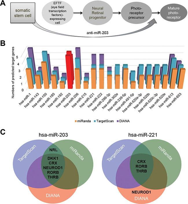 miR-203 targets retina development-relevant genes.