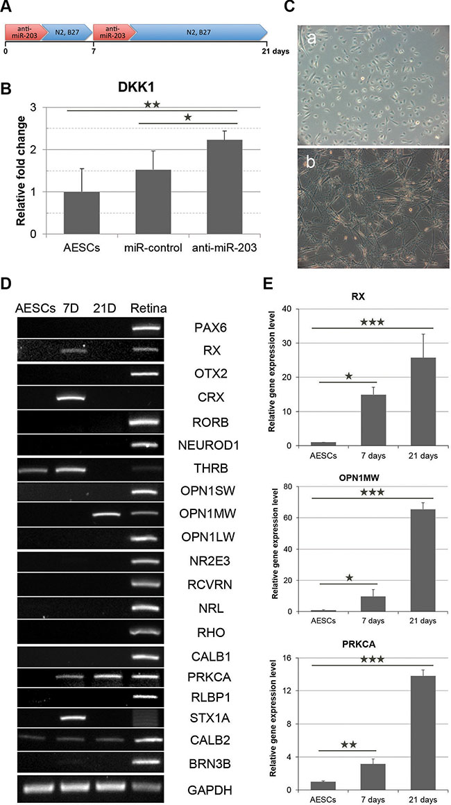 miR-203 inhibition induces the initial differentiation of AESCs into neural retina.