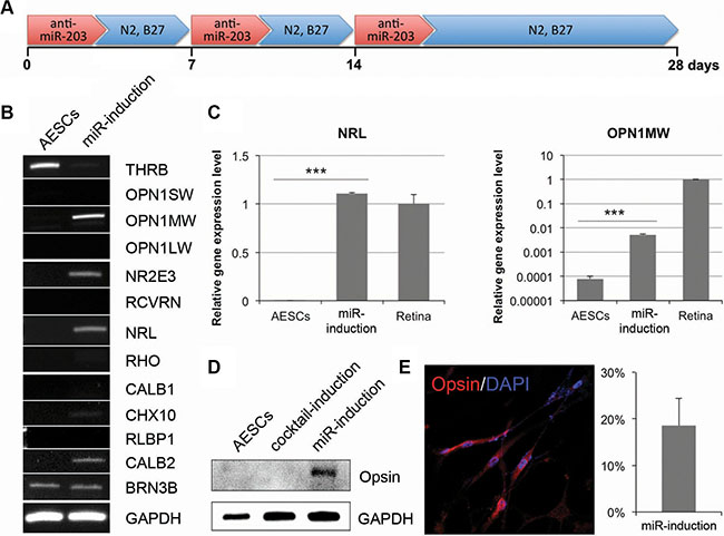 The long-term treatment of anti-miR-203 can induce retina maturation of AESCs.