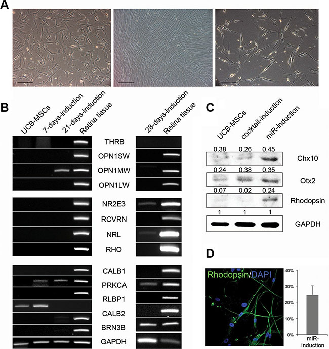 UCB-MSCs can also give rise to neural retina subtypes.