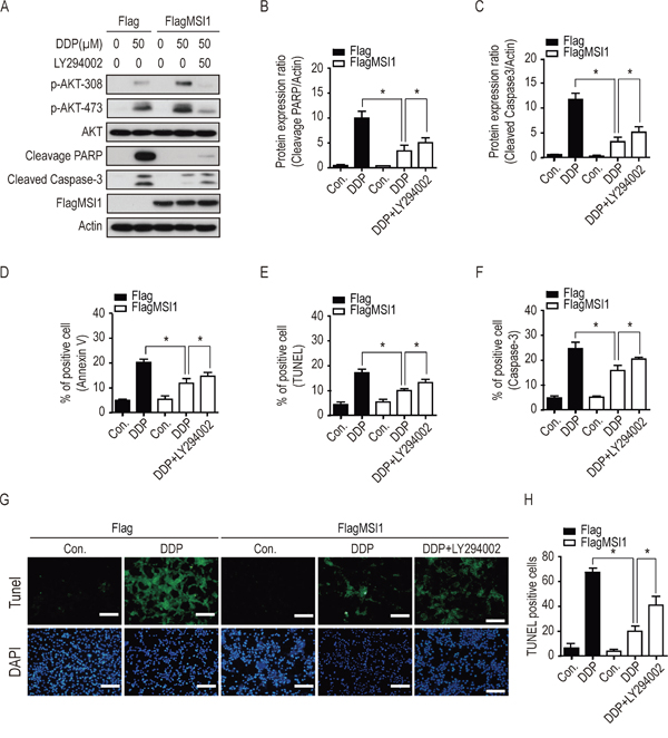 Inhibition of AKT activity blocked the suppressive effect of Musashi-1 on DDP-induced apoptosis.