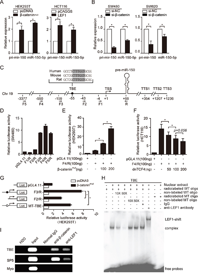 miR-150 is directly transactivated by β-catenin/LEF1.