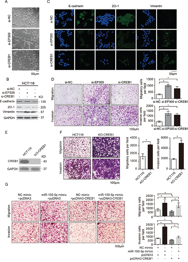 CREB1 and EP300 were the key mediators of miR-150-regulated EMT and CRC cell migration.