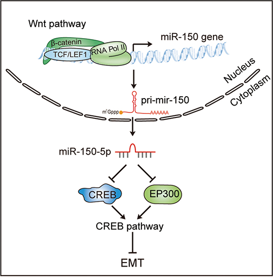 A model of the Wnt/β-catenin-miR-150-CREB signaling regulation axis in colorectal cancer.