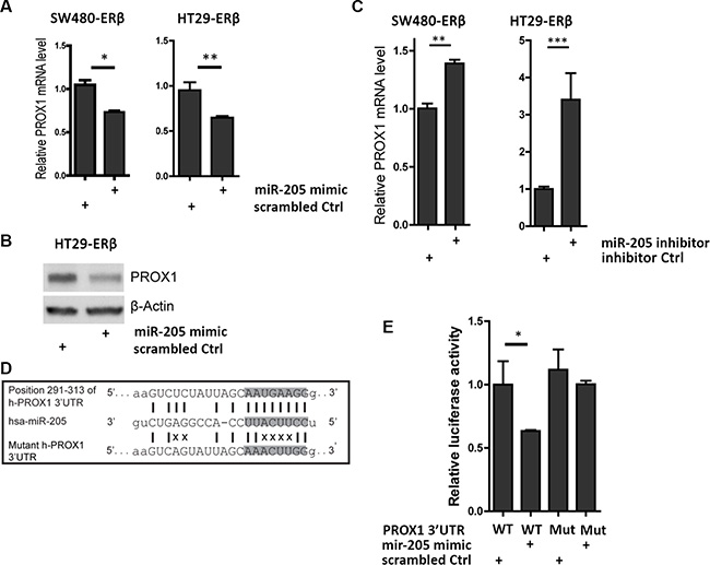 miR-205 directly silences PROX1 by targeting its 3'UTR.