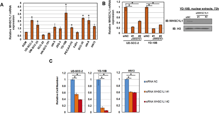 WHSC1L1 is overexpressed in SCCHN cell lines and its knockdown decreases cell viability.