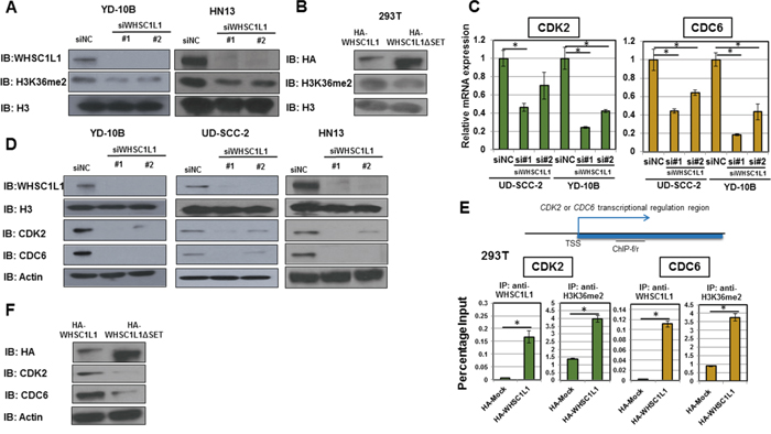 WHSC1L1 induces H3K36me2 dimethylation in SCCHN cells and directly regulates the transcription of cell cycle genes CDC6 and CDK2.
